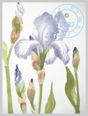 Iris and buds